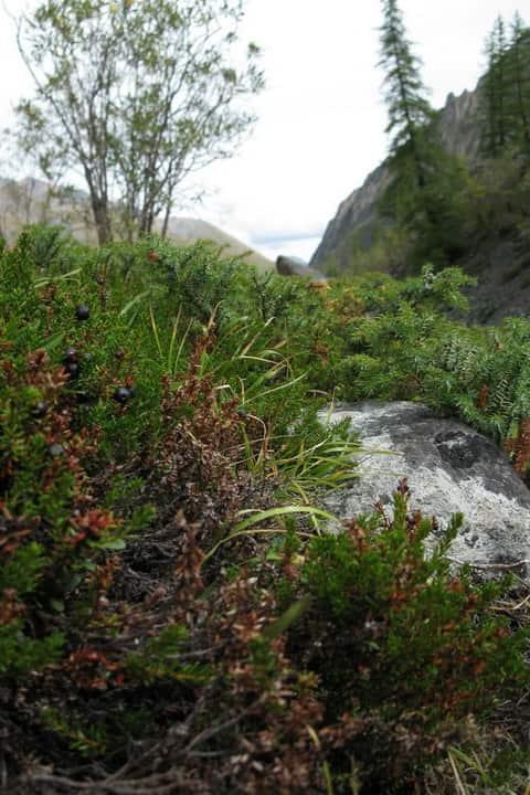 Травы тонизирующие организм